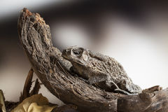 在椰子果壳的蟾蜍 免版税库存照片