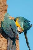 在椰子树树干栓的两只蓝色金刚鹦鹉 其中一只金刚鹦鹉是颠倒的 免版税库存图片