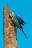 在椰子树树干栓的两只蓝色金刚鹦鹉 肩并肩A Yellowhead 图库摄影