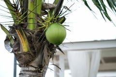 在椰子树的更加接近的椰子 免版税库存照片