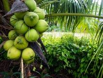 在椰子树的椰子 免版税库存图片