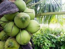 在椰子树的椰子 免版税图库摄影