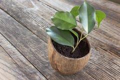 在椰子罐的榕属本杰明 库存照片
