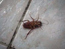 在楼层上的停止的蟑螂 图库摄影