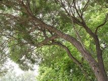在榆木的冠下 免版税库存图片