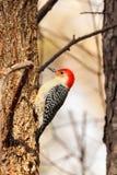 在榆树的红色腹部啄木鸟,搜寻臭虫 库存图片