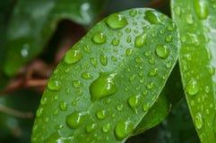 在榕属本杰明叶子的雨珠 库存照片