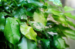 在榕属本杰明,绿色叶子背景的雨珠 免版税库存图片