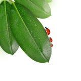 在榕属elastica满地露水的叶子的瓢虫  图库摄影