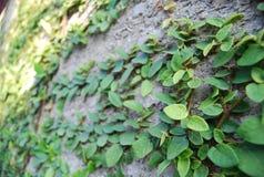 在榕属pumila绿色墙壁上的一个邮箱 库存图片