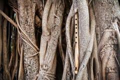 在榕树的竹长笛 免版税库存图片
