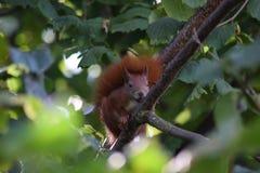 在榛子树的红松鼠 免版税库存照片
