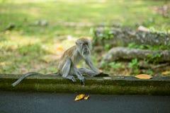 在槟榔岛植物园的猴子 库存图片