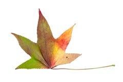 在槭树上的种类的秋季颜色变化 图库摄影