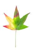 在槭树上的种类的秋季颜色变化 免版税库存照片