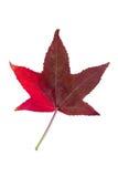在槭树上的种类的秋季颜色变化 库存照片