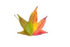 在槭树上的种类的秋季颜色变化 免版税图库摄影