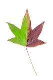 在槭树上的种类的秋季颜色变化 库存图片