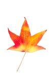 在槭树上的种类的秋季颜色变化 免版税库存图片