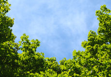 在槭树冠框架的蓝天  免版税库存照片