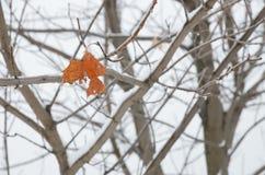 在槭树分支的一片破旧的叶子在冬天 免版税库存照片