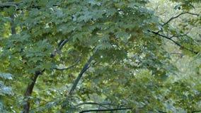 在槭树叶子的雨珠 影视素材