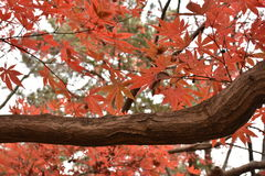 在槭树的橙色槭树叶子 免版税库存图片