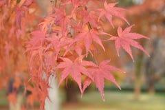 在槭树的橙色槭树叶子 免版税图库摄影
