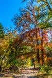 在槭树的秋叶沿土道路 库存图片