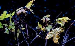 在槭树的秋叶的之间第一片金黄叶子 免版税库存照片