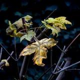 在槭树的秋叶的之间第一片金黄叶子 免版税库存图片