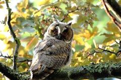 在槭树的长耳朵猫头鹰 库存图片