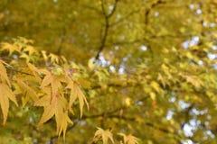 在槭树的黄色槭树叶子 图库摄影