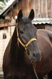 在槽枥的美丽的黑马画象 免版税图库摄影