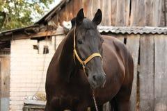 在槽枥的美丽的黑马画象 免版税库存照片