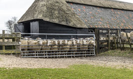 在槽枥的绵羊 库存照片