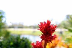 在模糊的背景的桃红色和红色花 免版税库存图片