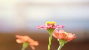 在模糊的背景的百日菊属花 库存照片