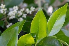 在模糊的背景的绿色叶子在一明亮的好日子 免版税库存照片