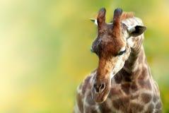 在模糊的背景的长颈鹿顶头特写镜头画象 图库摄影