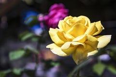 在模糊的背景,一朵开花的黄色玫瑰的花 库存照片