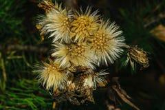 在模糊的黑暗的背景的秋天花卉概念 图库摄影