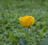 在模糊的绿色背景的一朵开花的黄色玫瑰 库存图片