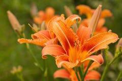 在模糊的绿草背景的橙色百合 免版税库存照片