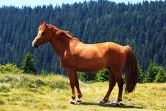 在横向的一匹美丽的马 免版税库存图片