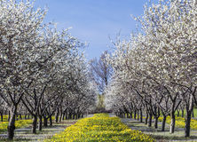 在横城市,密执安的樱花 免版税库存照片