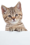 在横幅后的苏格兰猫小猫在白色 免版税图库摄影
