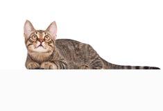 在横幅猫白色之上 免版税图库摄影