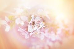 在樱桃开花的软的焦点 库存图片