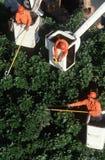 在樱桃挑库员的结构树整理者 免版税图库摄影